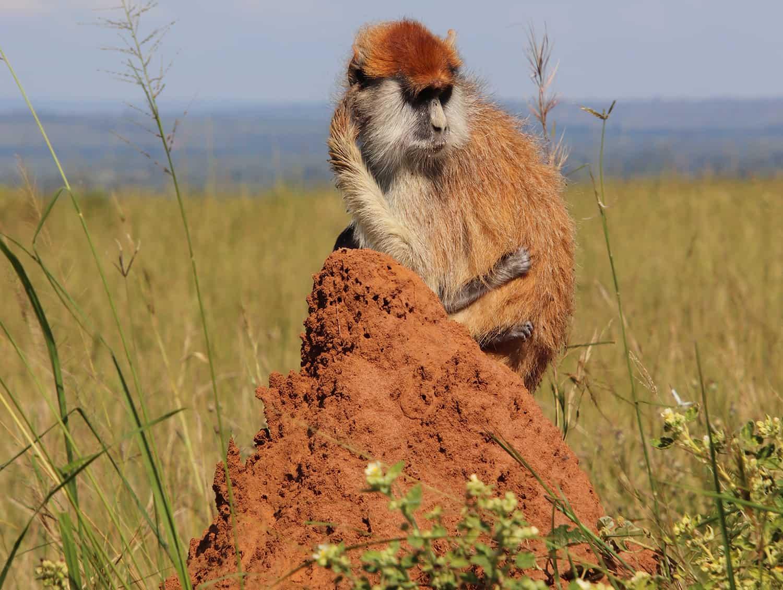 Patas monkey on termite mound